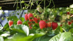 Zdrava strana slatkih jagoda
