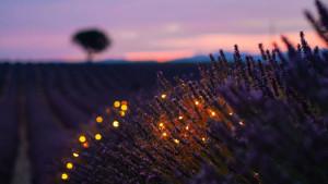Miris lavande povezan sa vjerovanjem ljudima