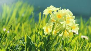 Vijesnik proljeća koji štiti respiratorni sistem
