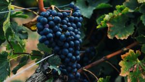 Ukus zdravlja: Zdravstvene koristi jedenja crvenog grožđa