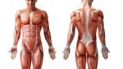 Koji mišić je najjači, a koji najduži?