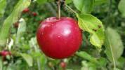 Sve dobre strane jabuke