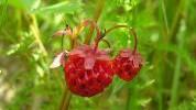 Šumska jagoda - mala, ukusna i moćna