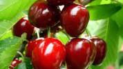 Višnja - legendarno voće