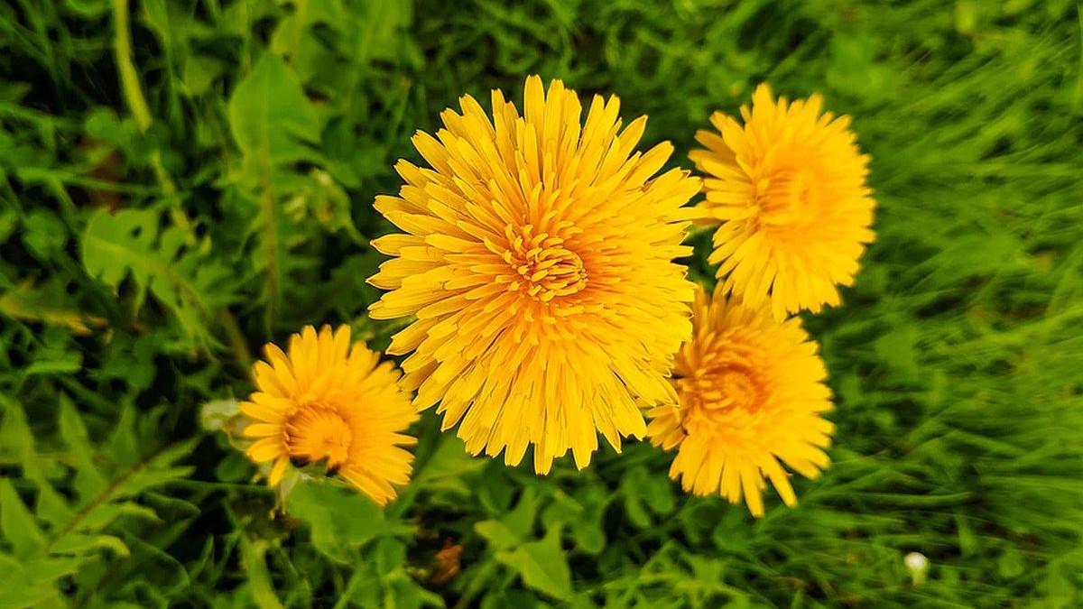 Cvijet koji uništava stanice raka