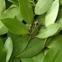 Lovorov list - mitološka biljka sa ogromnom moći