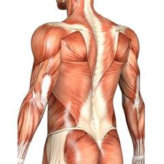 Tri ključna tipa mišićnih vlakana